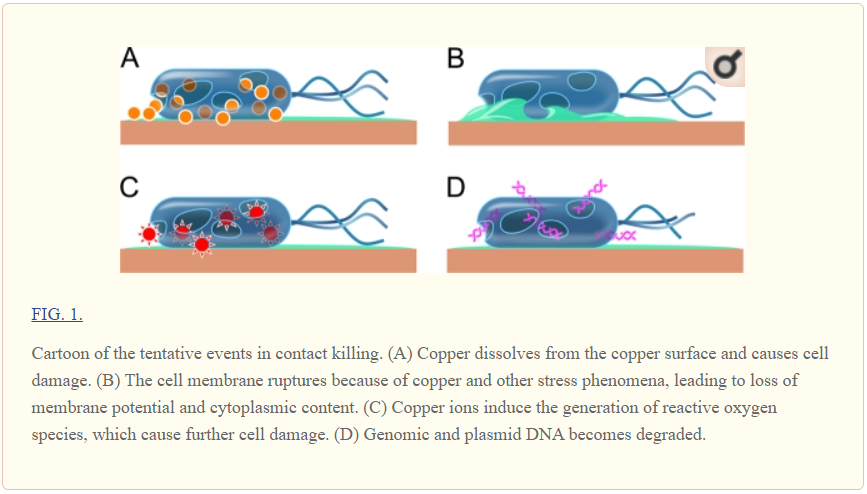 Copper surfaces killing germs