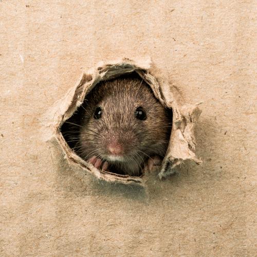 rat poking through hole